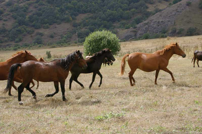 Conservancy program Karabakh Horse.