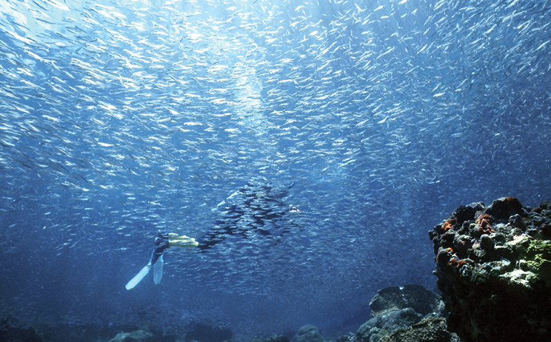 Dive experiences, thousands of hardhead silversides.