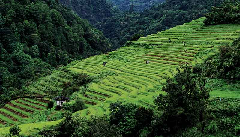 For thousands of years rice has been grown in the fertile soil of its mountains.