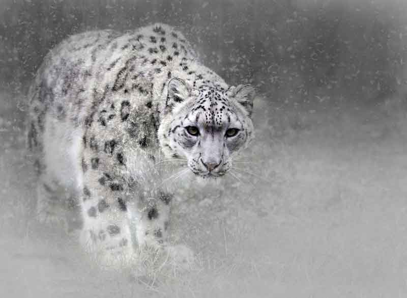 The snow leopard (Uncia uncia) is adapted to live in the cold environments of the Himalayas.