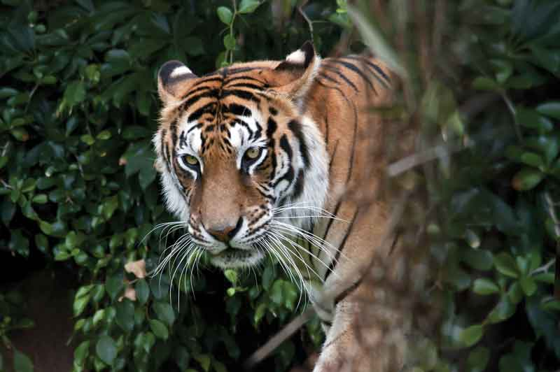 Bengal Tigers (Panthera tigris tigris) and other species roam free in their natural habitat.