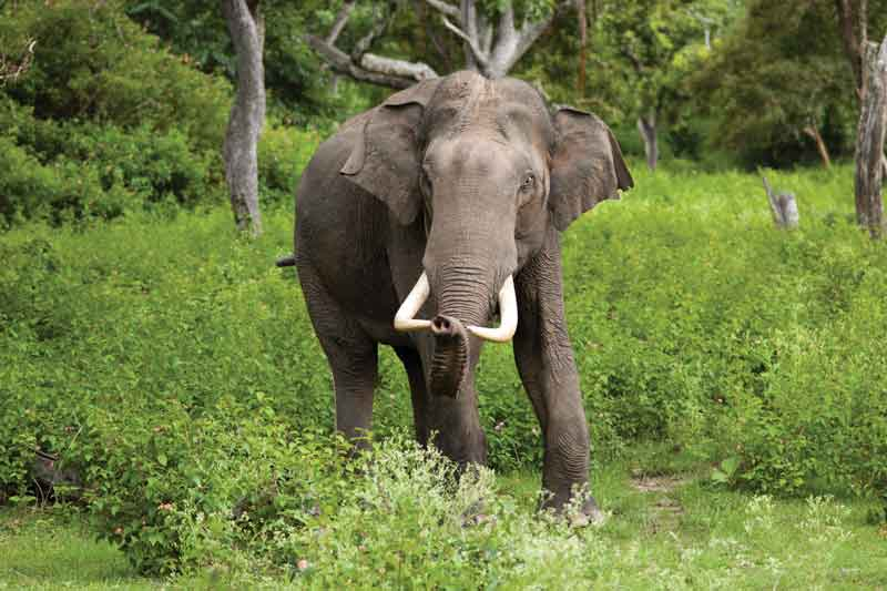 The Asian elephant (Elephas maximus) is the largest mammal of the Asian continent.