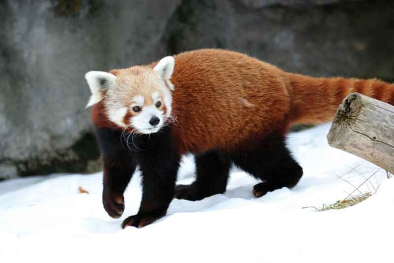 The Lesser Panda, Red Panda or Red Cat-bear  (Ailurus fulgens), subsists mainly of bamboo