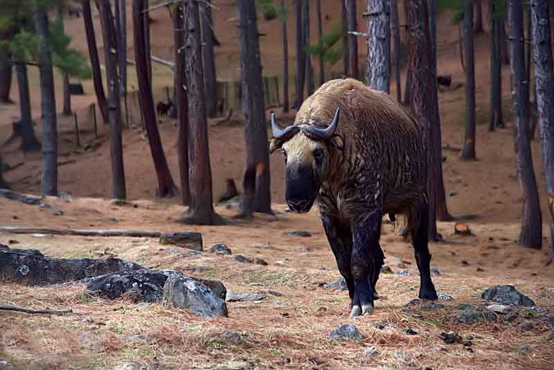 Takin (Budorcas taxicolor whitei), the sacred animal of Bhutan.