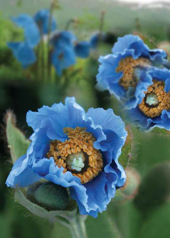 "The mythical ""Blue Poppy of the Himalayas""."