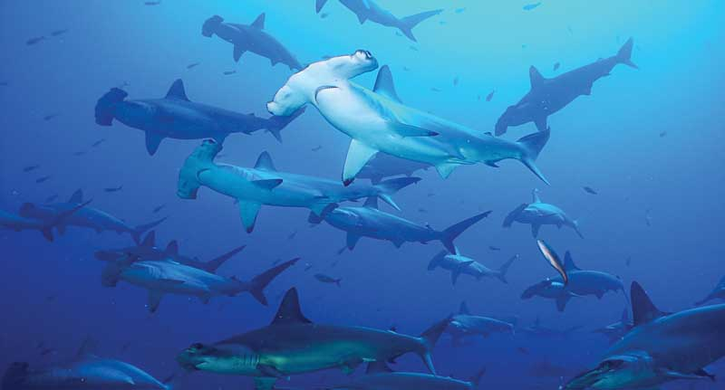 Sharks are incredibly important for overall ocean health and, in particular, for coral reefs.