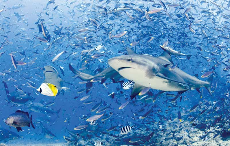 Sharks help to regulate species abundance and diversity while maintaining balance through an ecosystem.