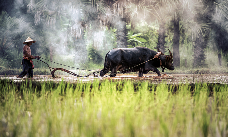 Amura, Camboya, Cambodia, Agriculture is one of the main ways of life in Cambodia.