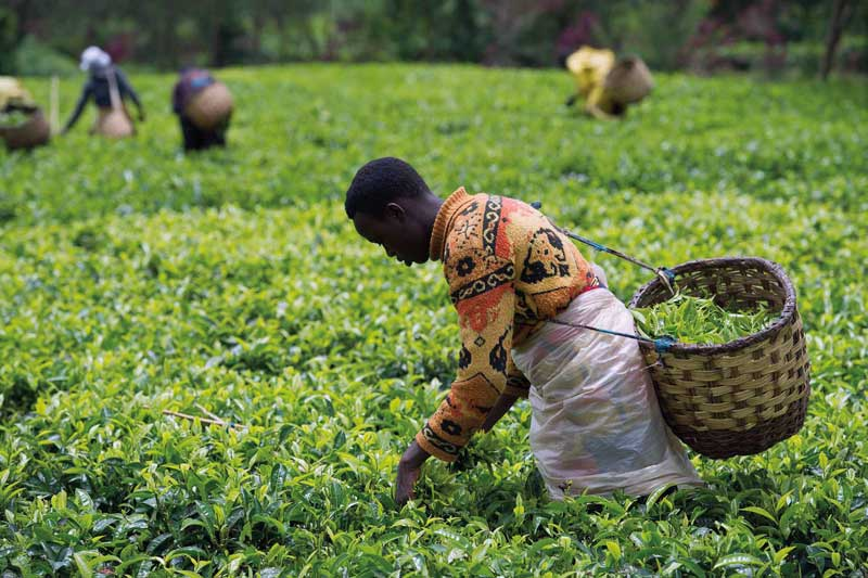 Amura, AmuraWorld,Rwanda,Ruanda,Compás Internacional,International Compass , Harvest in a tea plantation.