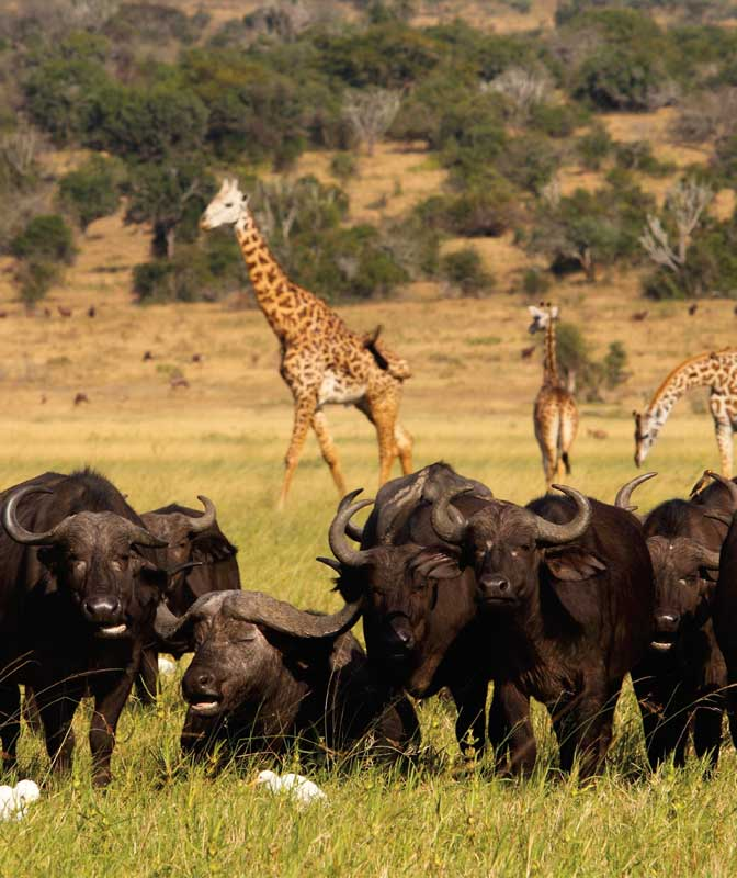 Amura, AmuraWorld,Rwanda,Ruanda,Compás Internacional,International Compass , Maasai giraffes and african buffalos in Akagera National Park.