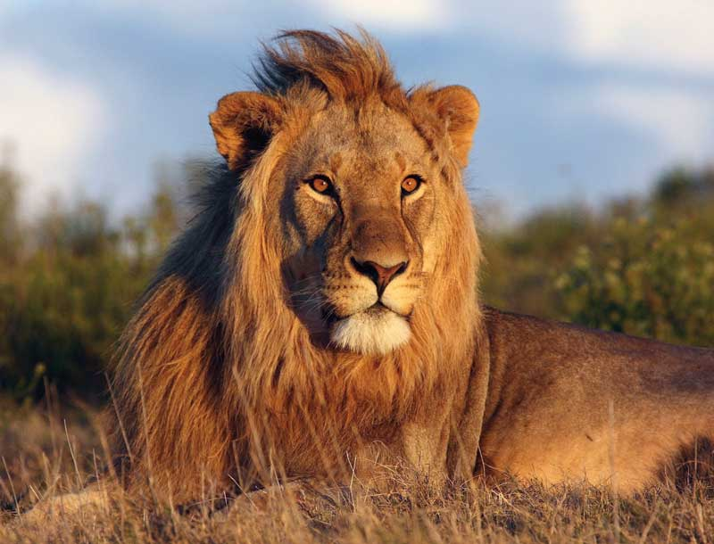 Amura, AmuraWorld,Rwanda,Ruanda,Compás Internacional,International Compass , The African lion has returned to Rwanda