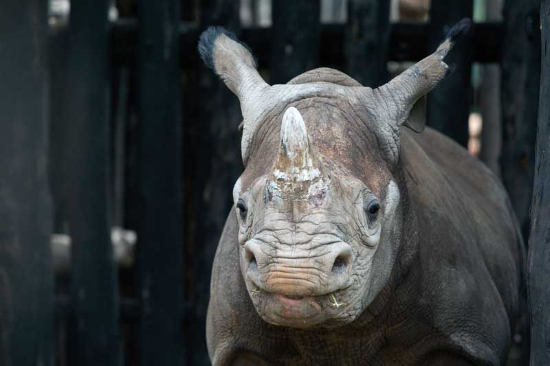 Amura, AmuraWorld,Rwanda,Ruanda,Compás Internacional,International Compass , Rwanda received in 2019 five black rhinos that were donated to European zoos.