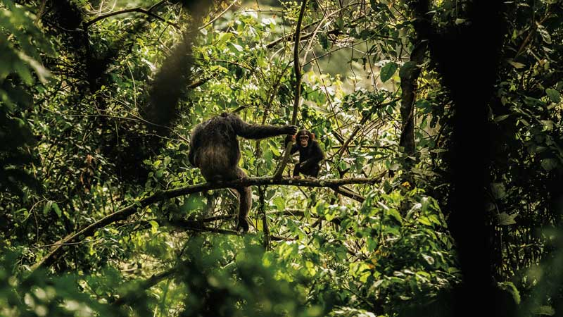 Amura, AmuraWorld,Rwanda,Ruanda,Compás Internacional,International Compass , The best place to see Rwandan chimpanzees is the Nyungwe forest.<br />