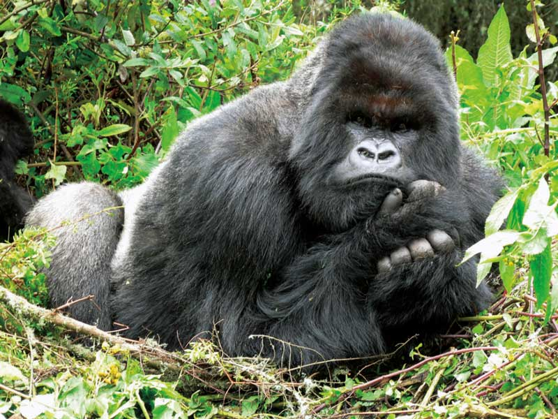 Amura, AmuraWorld,Rwanda,Ruanda,Compás Internacional,International Compass , Gorillas feel and express the same emotions as humans.