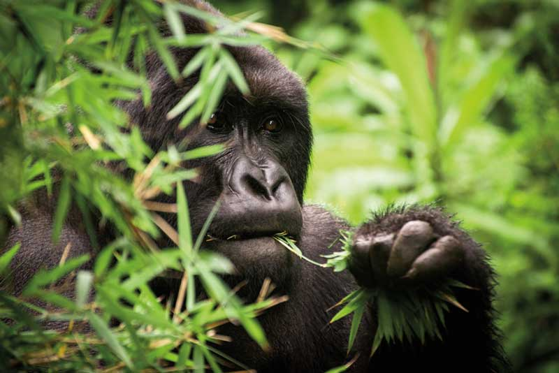 Amura, AmuraWorld,Rwanda,Ruanda,Compás Internacional,International Compass , Bamboo is the favorite food of gorillas.