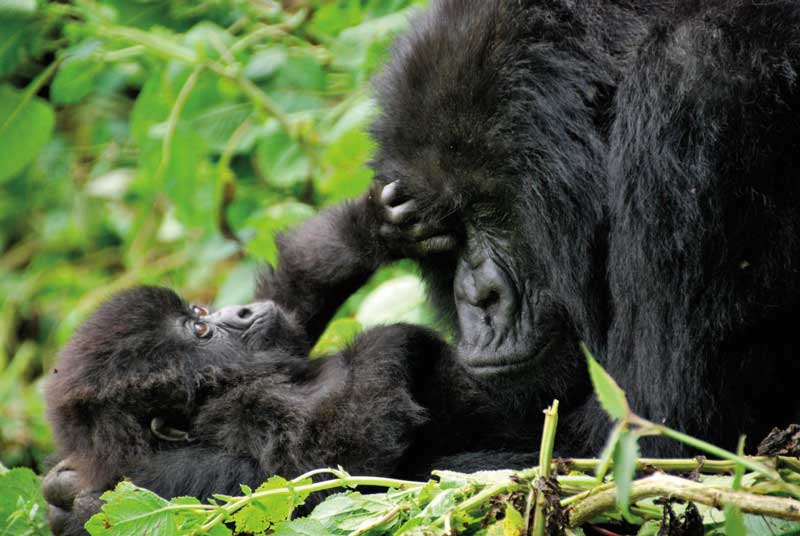 Amura, AmuraWorld,Rwanda,Ruanda,Compás Internacional,International Compass , Gorillas have a life expectancy between 35 and 50 years old.