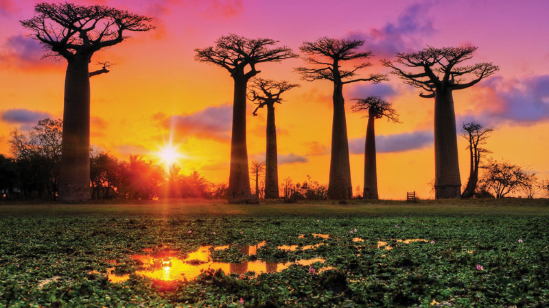 Amura, Amura World,Homenaje a la vida,El planeta tierra es una fábrica infinita de vida, Baobabs are found in both America and Africa.
