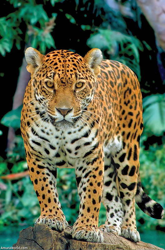 endangered species report jaguar What was already known, search for information, description of plant or animal, habitat requirements adaptations to get the information for this search on the jaguar, i had to look the jaguar up in books, encyclopedias, and on the computer i also learned where to go to get information for a report.